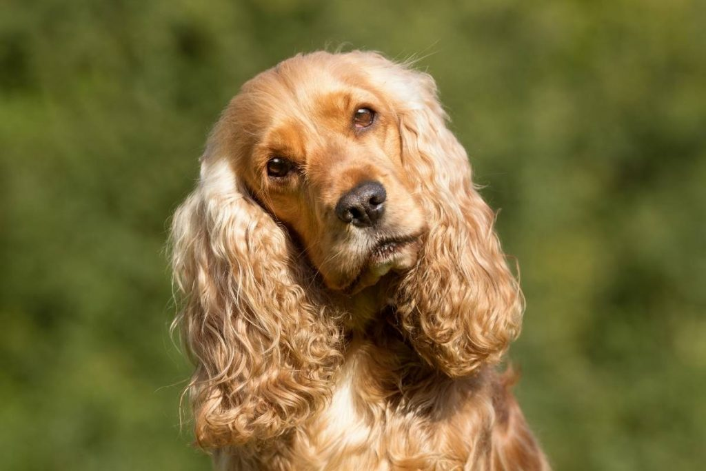 what should I feed my Cocker spaniel