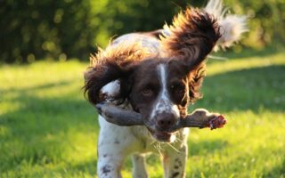 basic spaniel training