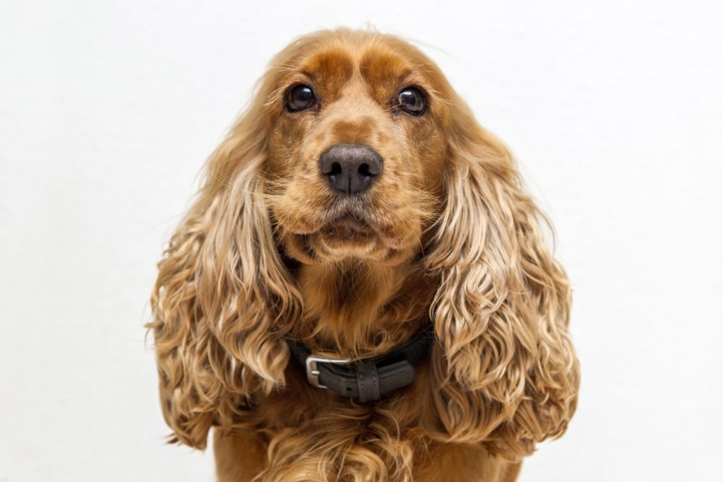 ultimate guide to cocker spaniels