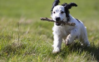 how do you teach a spaniel a blind retrieve