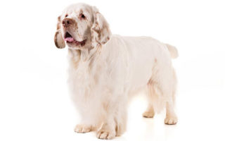 are clumber spaniels good dogs