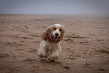 how to get a spaniel to come back to the whistle
