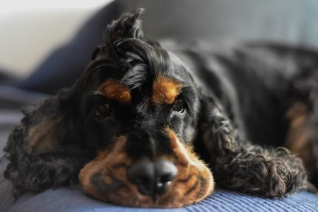 can cocker spaniels eat quiona