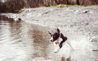 train a springer spaniel to come back