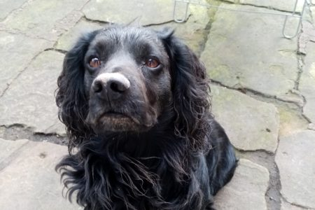 why do cocker spaniels dig