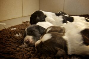 how many puppies do cocker spaniels have