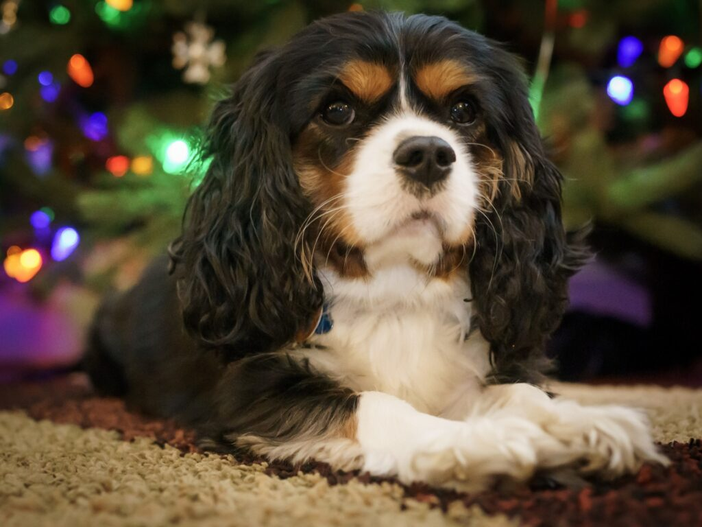 how to get a cavalier king charles spaniel to eat