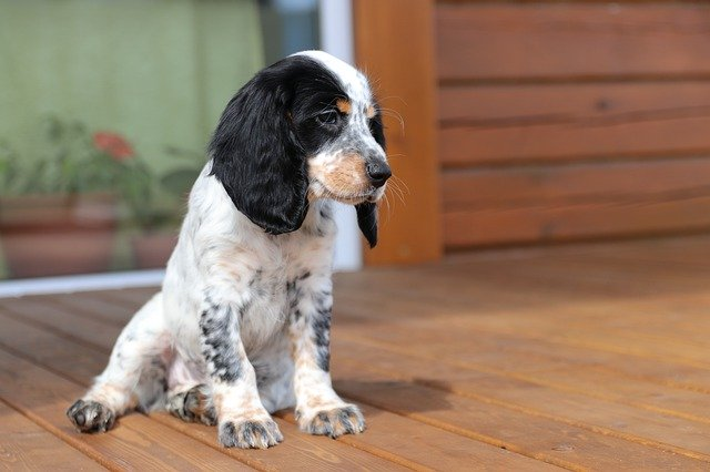 cocker spaniel pregnancy signs