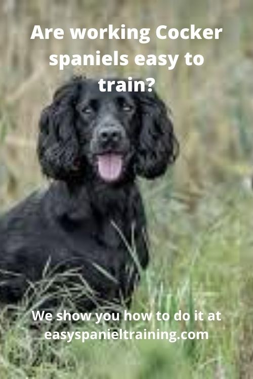 are working cocker spaniels easy to train