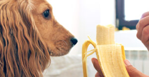 can cocker spaniels eat bananas