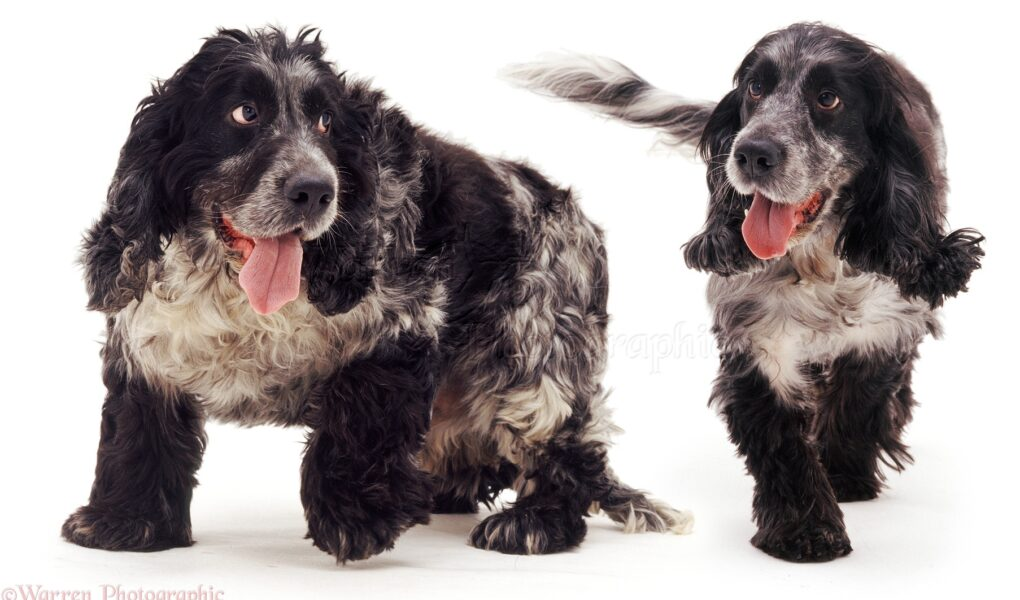 how to help a cocker spaniel lose weight