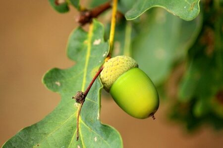 are acorns poisonous to dogs