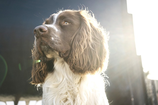 how to train a spaniel to be steady to shot
