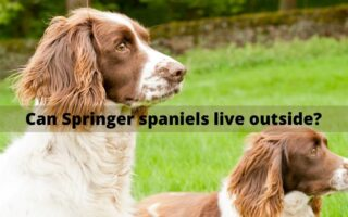 Can Springer spaniels live outside