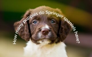 How many puppies do Springer spaniels have