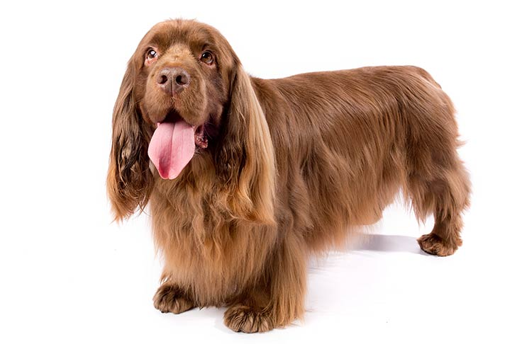 what is the sussex spaniel temperament