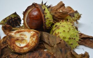 are conkers poisonous to dogs