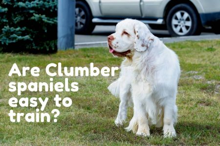 Are Clumber spaniels easy to train