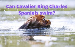 Can Cavalier King Charles spaniels swim