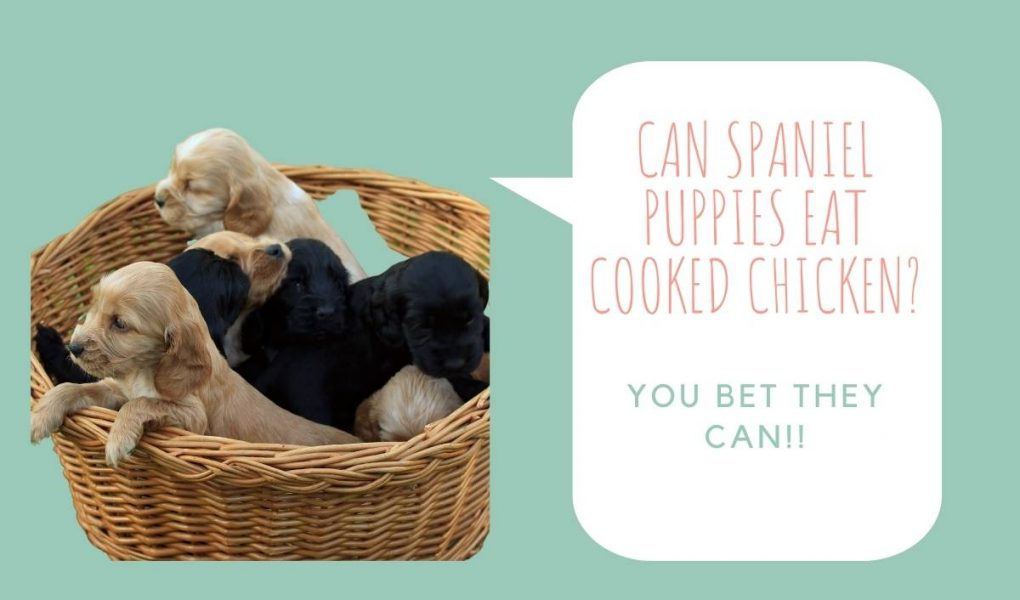 Can spaniel puppies eat cooked chicken