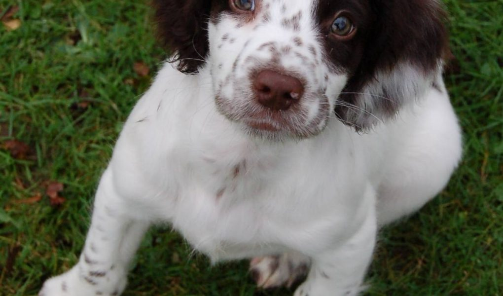 can spaniels have blue eyes