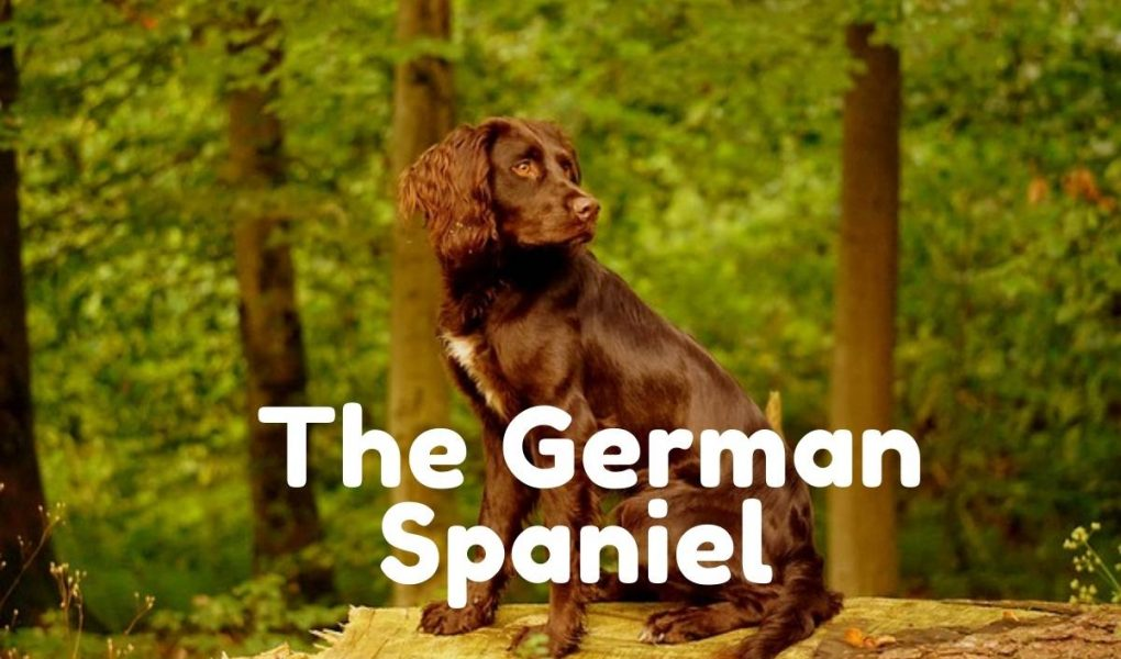 german cocker spaniel
