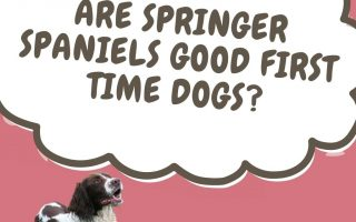 are springer spaniels good first time dogs