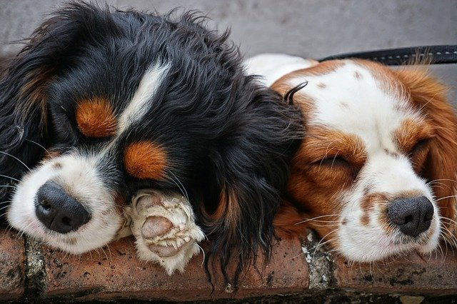 do cavalier king charles spaniels moult