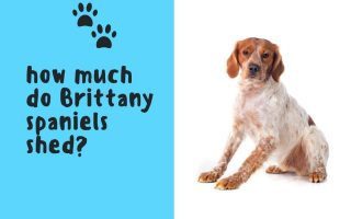 how much do Brittany spaniels shed