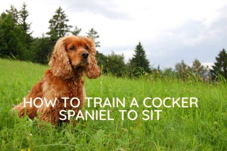 how to train a cocker spaniel to sit