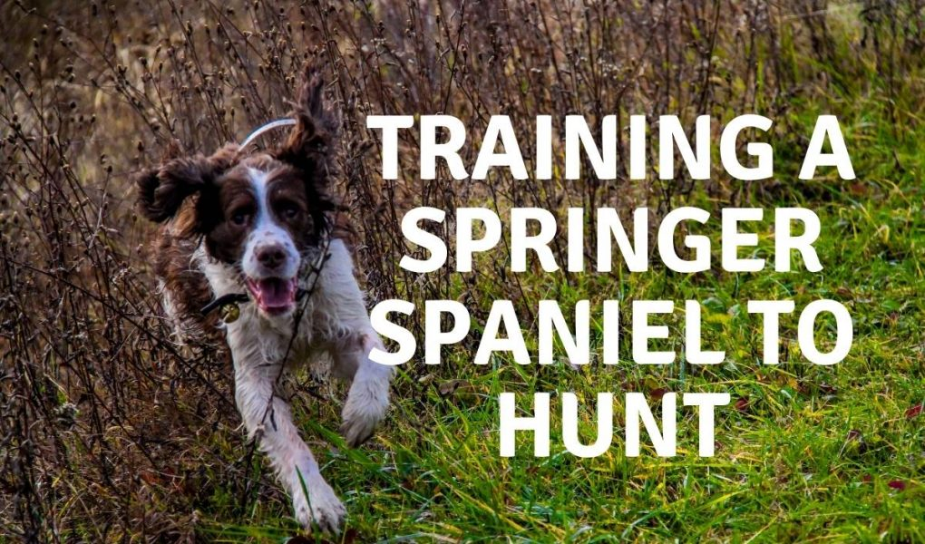 training a springer spaniel to hunt