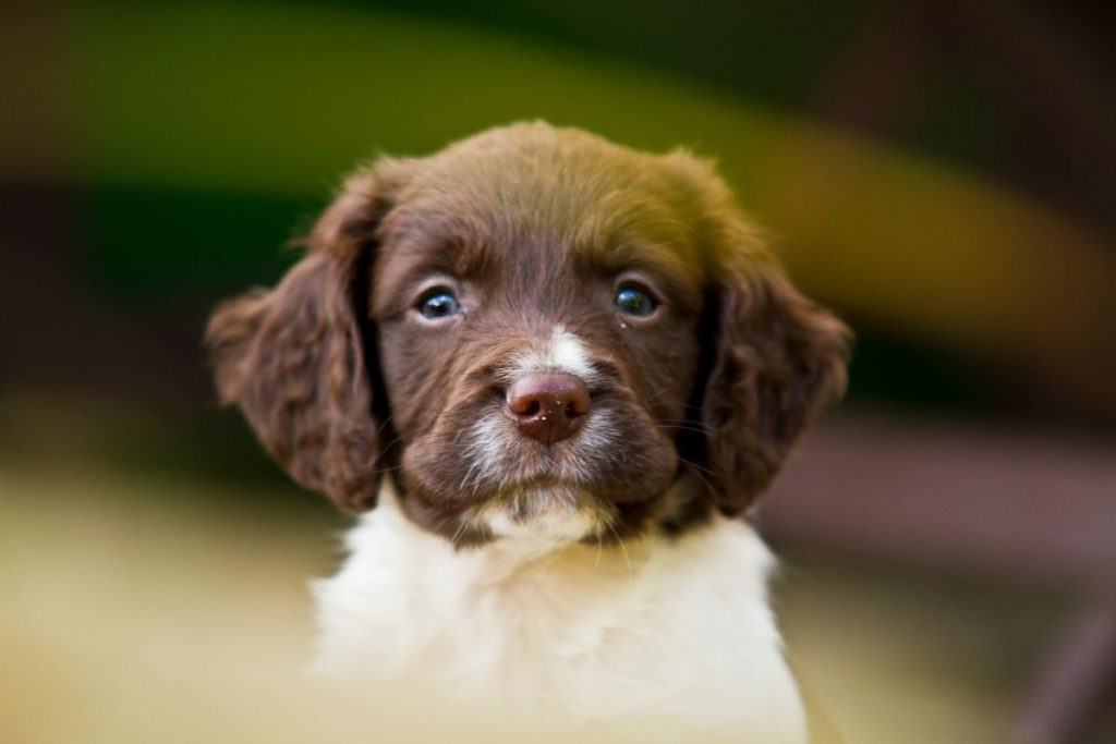 how to train a springer spaniel puppy