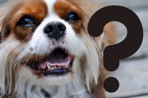 common questions about spaniels