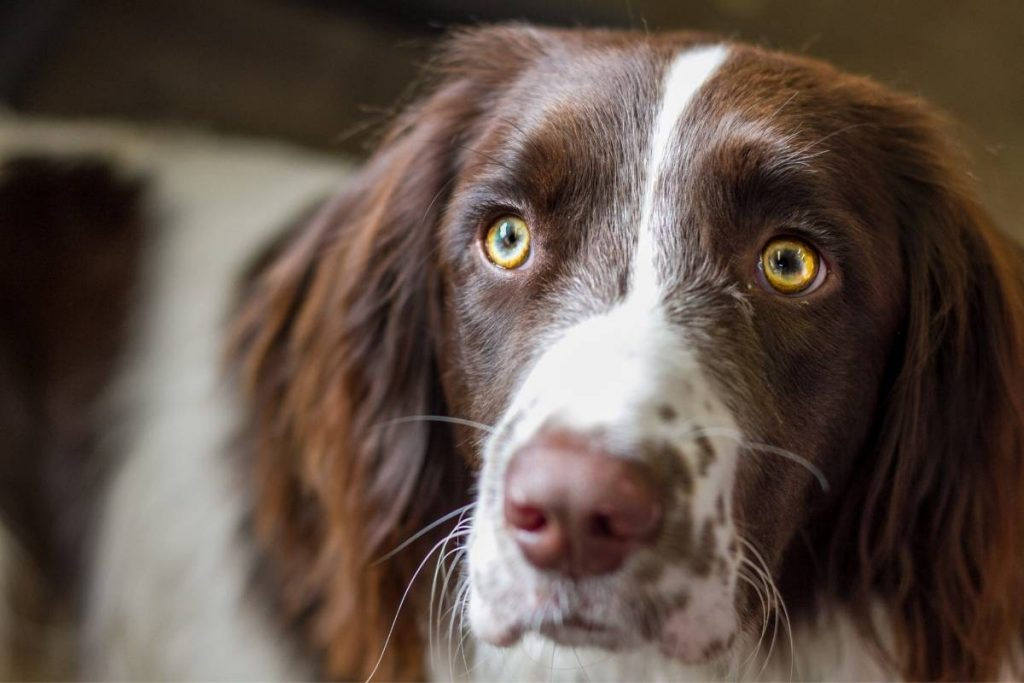 what is the smallest breed of spaniel