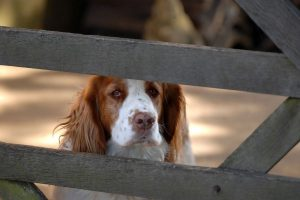 what is the smallest spaniel breed