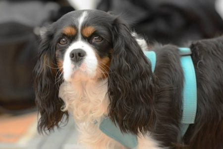 what is the best harness for a cavalier king charles spaniel