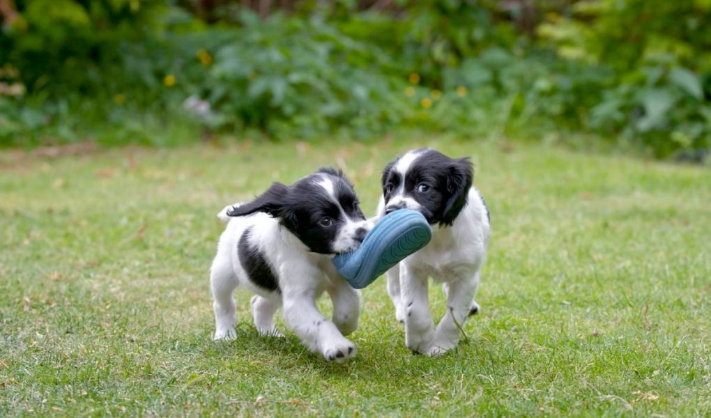 why do spaniels carry things