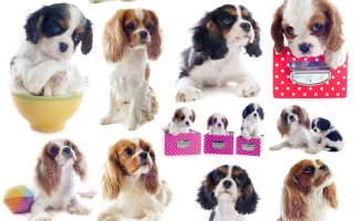 9 interesting facts about the cavalier king charles spaniel