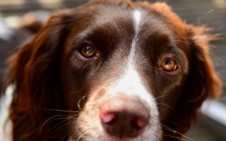 11 Springer Spaniel facts