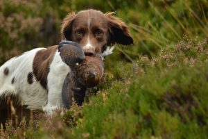 are springer spaniels easy to train