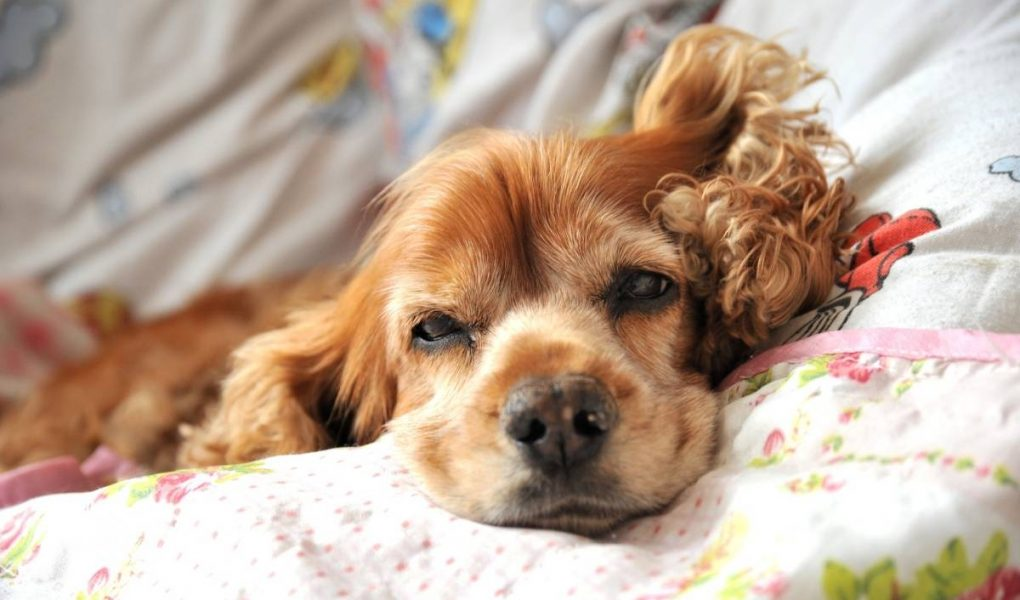 why do cocker spaniels have long ears