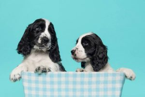 are cocker spaniels better in pairs