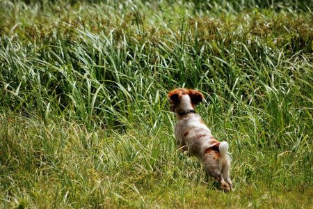 what is a spaniel working test
