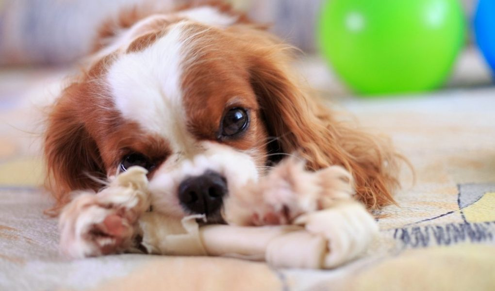 can a king charles spaniel be left alone