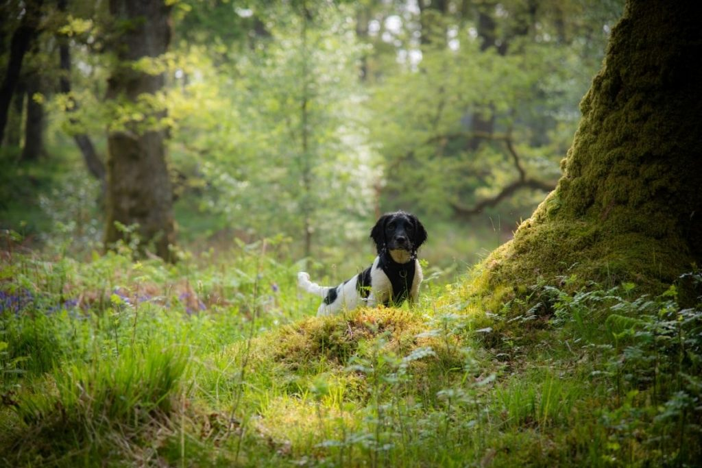 why do springer spaniels go round in circles