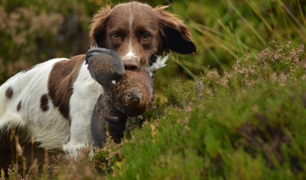 how old is a fully grown springer spaniel