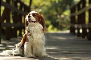 how much exercise does a cavalier king charles need