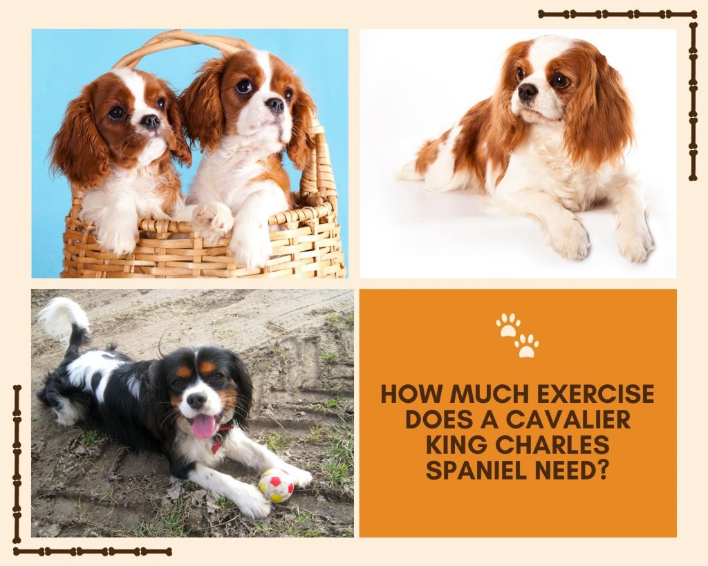 how much exercise does a cavalier king charles spaniel need