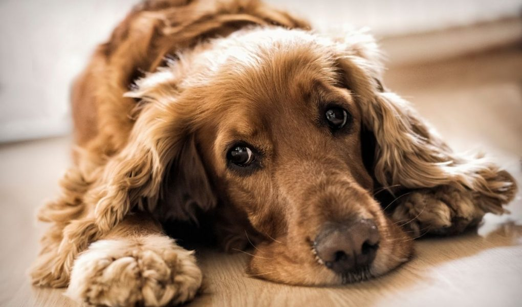how long can a cocker spaniel be left alone
