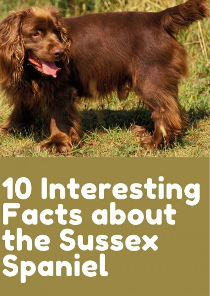 10 Interesting Facts about the Sussex Spaniel